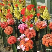 供应高度30-2米的仙人掌(金琥)盆苗、袋苗
