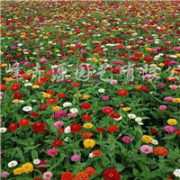 供应野花组合种子、野花组合品种、野花组合图片播种