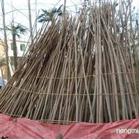 供应4--5-6-8公分火炬树80000株