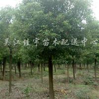 供应香樟、重阳木
