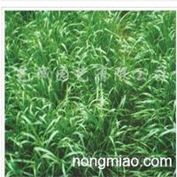 供应黑麦草种子、四季青种子、狗牙根种子等