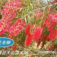 供应红花垂柳