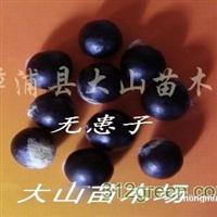 供无患子种子(洗手果、肥皂树)