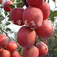 供应新品种红富士苹果树苗、烟富1-6号果树