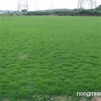 马尼拉草坪根据草生长情况和出草时间最低4、2起