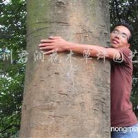 供应5-60公分实生移栽朴树