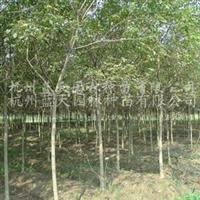 供应5-11公分重阳木