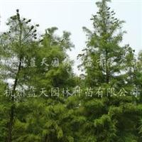 供应6-10公分池杉