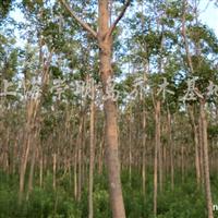 供应6-20公分重阳木