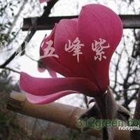 供应红花玉兰实生苗、红花玉兰实生大苗