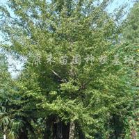 供应5-10cm三角枫