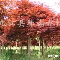 供应红枫、鸡爪槭、青枫、三角枫