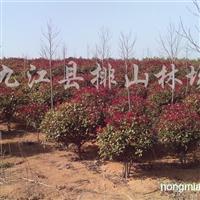 供应红叶石楠、合欢、黄连木、红花木莲