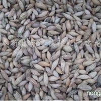 供应桂花种子一千斤