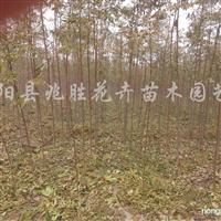 供应栾树2-15公分