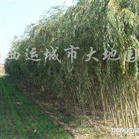 供应金丝柳、漳河柳、馒头柳