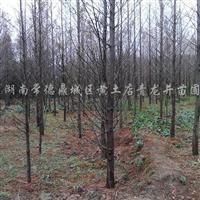 供应7-12公分水杉