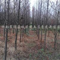 供应6公分水杉