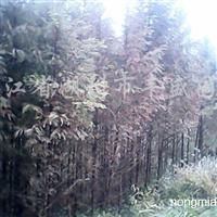 供应3公分以上规格水杉