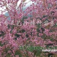 供应冬樱花种苗
