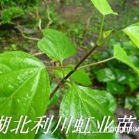 供应豆腐树苗