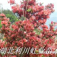供应红花杜鹃(映山红)熟货杜鹃树桩