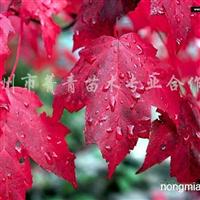 供应美国红枫等多种小苗