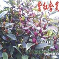 供应紫花含笑小苗