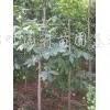 供应七叶树、水杉、马褂木、腊梅