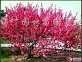 供应碧桃、红梅、绿梅、美人梅、珍珠梅