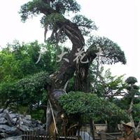 供应榕树大规格造型