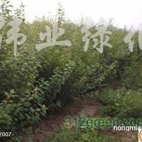 供应丛生榆叶梅、丛生木槿、丛生金银木、紫丁香