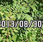 供应一年生北栾苗、5-10公分北栾树