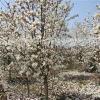 供应白玉兰、蜀桧、五角枫、紫薇、落羽杉