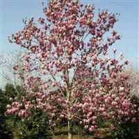 供应红玉兰、蜀桧、五角枫、马褂木、紫薇、落羽杉、樱花等