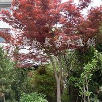 供应红枫(D20cm)