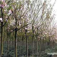 供应各种规格樱花、海棠、桂花