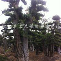供应各种工程绿化苗木