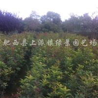 供应高度50-150公分广玉兰小苗