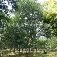 供应金合欢5-15公分苗圃苗