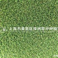 供应剪股颖草坪
