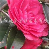 供应茶梅、红花继木、龟甲冬青、红叶石楠、金森女贞