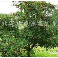 供应樱桃、桃树、杏树、核桃树、果石榴、山楂、柿子树