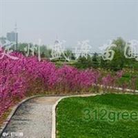 供应紫荆、紫薇、紫藤、金山绣线菊、金焰绣线菊