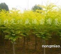 供应矮杆金叶槐、矮杆金枝槐、矮干金叶榆、高杆金叶榆