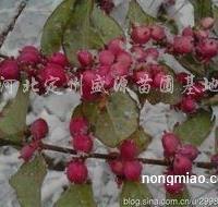 供应红雪果、猥实、平枝�兆印⑺��兆印⑻炷壳砘�