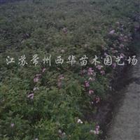 供应红帽子月季、藤本月季、蔷薇、丰花月季