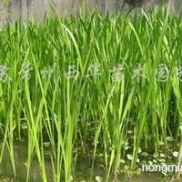 供应水生植物、荷花(睡莲)、水生鸢尾、黄菖蒲等