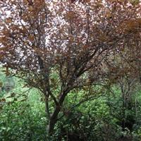 供应红叶李、乌桕、朴树、紫薇等苗圃苗