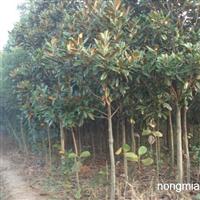 供应绿化大(小)乔木和花灌木